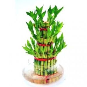 Lucky Bamboo 3 Layer