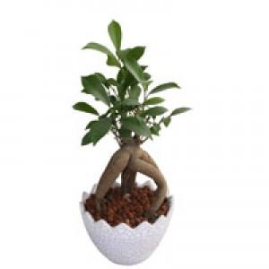 Adeniun Bonsai plant