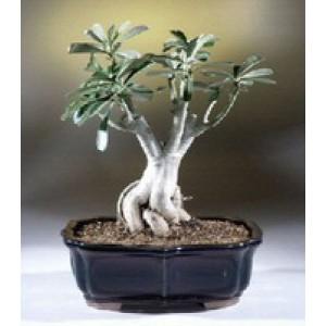 Adenium Bonsai Tray (Gift a plant)
