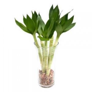 Lotus Bamboos